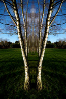 Silver Birches at Rufford Abbey